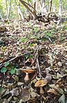 SIG_2587 / Cortinarius caesiocortinatus / Rasmarkslørsopp