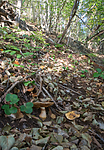 SIG_2594 / Cortinarius caesiocortinatus / Rasmarkslørsopp