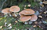 SIG_2656 / Cortinarius praestans / Kjempeslørsopp