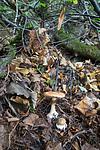 SIG_2686 / Cortinarius saporatus / Skrentslørsopp