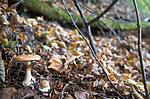 SIG_2706 / Cortinarius saporatus / Skrentslørsopp