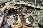SIG_2741 / Cortinarius cotoneus / Hasselslørsopp