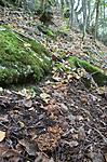 SIG_2763 / Gautieria graveolens <br /> Gautieria morchelliformis / Gropeknoll