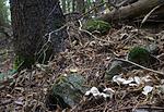 SIG_2882 / Albatrellus citrinus / Lammesopp