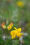 SIG_4067 / Lotus corniculatus / Tiriltunge