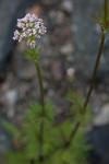 SIG_4165 / Valeriana officinalis / Legevendelrot