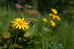 SIG_4212 / Arnica montana / Solblom