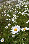 SIG_4282 / Leucanthemum vulgare / Prestekrage