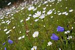 SIG_4298 / Campanula rotundifolia / Blåklokke <br /> Leucanthemum vulgare / Prestekrage