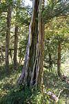SIG_4823 / Taxus baccata / Barlind