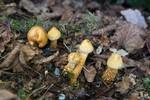SIG_4839 / Cortinarius humicola / Gullskjellet slørsopp