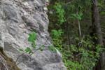 SIG_6454 / Cotoneaster laxiflorus / Svartmispel