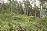SIG_6474 / Sambucus racemosa / Rødhyll