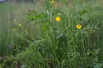 SIG_6753 / Ranunculus polyanthemos / Krattsoleie