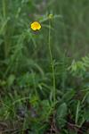 SIG_6758 / Ranunculus polyanthemos / Krattsoleie