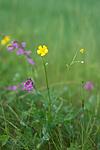 SIG_6777 / Ranunculus polyanthemos / Krattsoleie