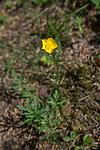 SIG_6959 / Ranunculus polyanthemos / Krattsoleie
