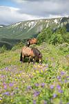 SIG_7108 / Equus caballus / Hest
