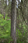 SIG_7239 / Usnea longissima / Huldrestry