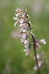 SIG_7504 / Epipactis palustris / Myrflangre