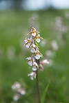 SIG_7526 / Epipactis palustris / Myrflangre