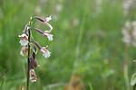 SIG_7529 / Epipactis palustris / Myrflangre