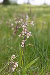SIG_7544 / Epipactis palustris / Myrflangre