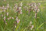 SIG_7549 / Epipactis palustris / Myrflangre