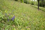 SIG_8974 / Polygala vulgaris / Blåfjær