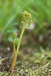 SIG_9013 / Botrychium matricariifolium / Huldrenøkkel