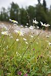 SIG_9336 / Leucanthemum vulgare / Prestekrage