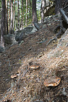 SIG_9831 / Tricholoma focale / Teglrød kragemusserong
