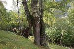 SIG_9972 / Betula pubescens pubescens / Dunbjørk