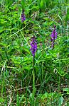 SIR_0490 / Orchis mascula / Vårmarihand