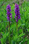 SIR_0499 / Orchis mascula / Vårmarihand