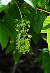 SIR_0571 / Acer pseudoplatanus / Platanlønn