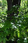 SIR_0575 / Acer pseudoplatanus / Platanlønn