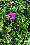 SIR_0621 / Geranium sanguineum / Blodstorkenebb