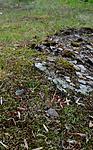 SIR_0773 / Cladonia subrangiformis / Kystgaffel