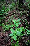 SIR_0961 / Sorbus subpinnata / Grenmarasal