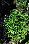 SIR_1415 / Eupatorium cannabinum / Hjortetrøst