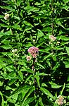 SIR_1416 / Eupatorium cannabinum / Hjortetrøst