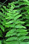 SIR_1504 / Thelypteris palustris / Myrtelg