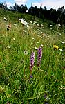 SIR_1809 / Gymnadenia conopsea / Brudespore