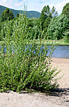 SIR_2391 / Salix daphnoides / Påskepil <br /> Salix daphnoides