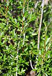 SIR_2394 / Salix daphnoides / Påskepil <br /> Salix daphnoides