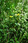 SIR_2445 / Rhinanthus angustifolius / Storengkall