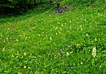 SIR_5471 / Dactylorhiza sambucina / Søstermarihand