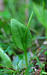 SIR_5534 / Ophioglossum vulgatum / Ormetunge