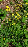 SIR_5616 / Crepis praemorsa / Enghaukeskjegg